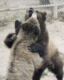 A Grizzly Pair Spar in a Zoo Cage Stock Photo