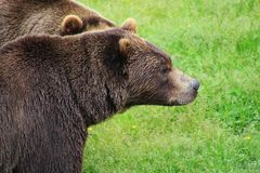 Grizzly pair stock images
