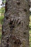 Grizzly pazura oceny Na drzewie obraz royalty free