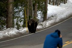 Grizzly Photographer in Danger Stock Photo