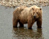Grizzly połów dla łososia w rzece obraz royalty free