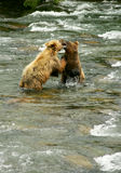 grizzly ponosi Obraz Royalty Free