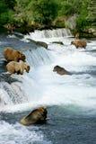 grizzly ponosi Fotografia Stock