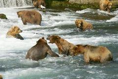 grizzly ponosi obrazy stock