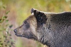 Grizzly Portrait Stock Image
