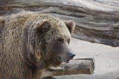 Grizzly portret Zdjęcie Royalty Free