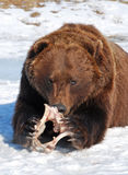Grizzly Power. Vertical image of a grizzly bear laying in the snow with its powerful claws gripping an animal bone as it stares into the camera Royalty Free Stock Photos