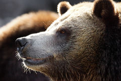 Grizzly profile Royalty Free Stock Image
