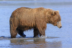 Grizzly on the Prowl in an Estuary Stock Photography