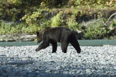 Grizzly at the river. In this hot dry summer the grizzly bears had to wait long for the salmon rush. Salmons only rush when the water is cold enough. Some of the Royalty Free Stock Images