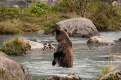 Grizzly in river Stock Photos