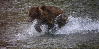Grizzly run. An old grizzly bear runs through a creek trying to catch chum dog salmon, during the annual salmon run in the Tongass national forest, Alaska Stock Photography