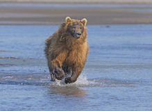 Grizzly Running after its Prey Royalty Free Stock Photography