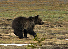 A grizzly runs in a meadow. A yearling grizzly cub runs in a meadow Royalty Free Stock Image
