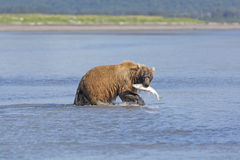 Grizzly with Salmon Stock Image