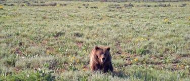 Grizzly samiec niedźwiedź chodzi w Hayden dolinie w Yellowstone parku narodowym w Wyoming usa Obrazy Royalty Free
