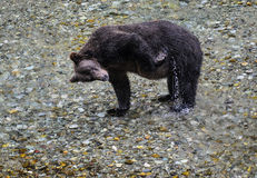 Grizzly scratch. A grizzly bear scratches himself in the river.  Tongass national forest, Alaska Royalty Free Stock Photo