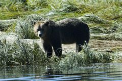 Grizzly at the shore. At the mainland of british columbia a grizzly bear is going to take a bath in the pacific ocean Stock Images