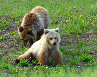 Grizzly Siblings Stock Image