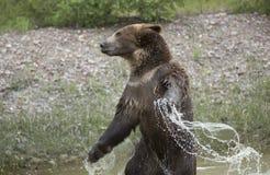 Grizzly slingerende wapens met water Stock Fotografie