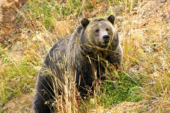 Grizzly sow Stock Image