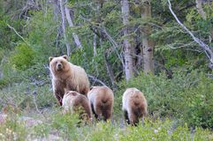 Grizzly Sow with Triplets Stock Photo