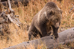 Grizzly Sow Royalty Free Stock Photos