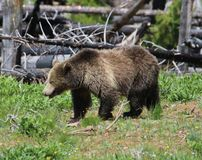 Grizzly sow in Yellowstone National Park. Grizzly sow and cub feeding in southern Yellowstone in late spring Stock Photography