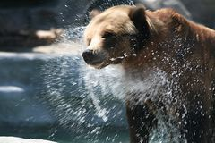 Grizzly Spin Dry Royalty Free Stock Photo