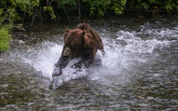 Grizzly splash. A grizzly bear splashes into a creek in the Tongass national forest, Alaska, as he fishes for salmon during the annual chum dog salmon run Stock Photo