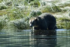Grizzly steps into the water Royalty Free Stock Photos