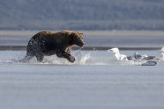 Grizzly and stranding Salmon. A Grizzly is hunting a Salmon in shallow water, during the tide. The Salmon is stranded. Photo taken on August, 2016, Hallo Bay Stock Photos