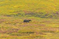 Grizzly in Toendra in de herfst royalty-vrije stock fotografie