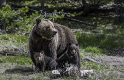 Grizzly with two her children in the forest at Yellowstone National park stock image