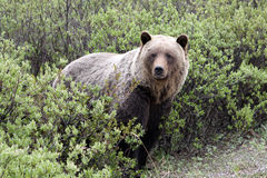 Grizzly (ursus arctos horribilis) Royalty Free Stock Photo