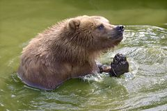 Grizzly in the water stock images