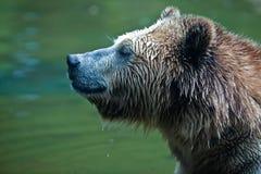 Grizzly (Ursus arctoshorribilis) Stock Foto's