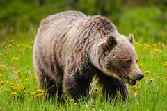 Grizzly (Ursus arctoshorribilis) Royalty-vrije Stock Foto's