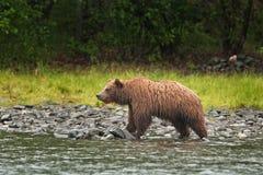 Grizzly, ursusarctos, silvertip beer, Alaska Royalty-vrije Stock Afbeeldingen