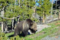 Grizzly w drodze Zdjęcie Royalty Free