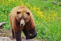 Grizzly w kwiatach Obrazy Royalty Free
