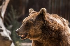 Grizzly w zoo fotografia royalty free