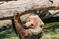 Grizzly Water Fun Stock Photo