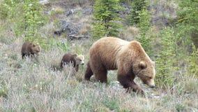 Grizzly z lisiątkami Zdjęcie Royalty Free