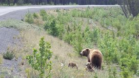 Grizzly z lisiątkami Zdjęcia Stock