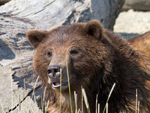 Grizzlybär Lizenzfreie Stockbilder