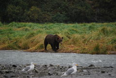 Grizzlybär in Alaska Lizenzfreie Stockfotos