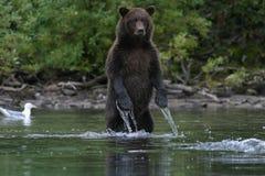 Grizzlybär, der im alaskischen See fischt stockbilder