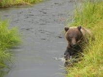 Grizzlybär, der nach Lachsen sucht Lizenzfreie Stockfotografie