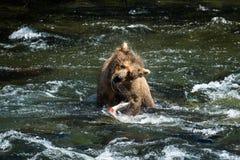 Grizzlybär, der weg nach anziehenden Lachsen rüttelt Lizenzfreies Stockfoto